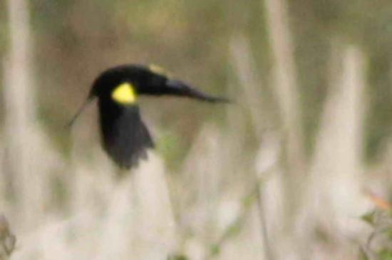 Varillero ala amarilla/Yellow-winged Blackbird