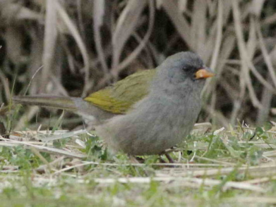 Verdón/Great Pampa Finch