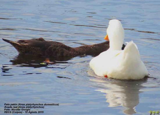 Ánade-Pekin vd/Mallard-Pekin Duck dv