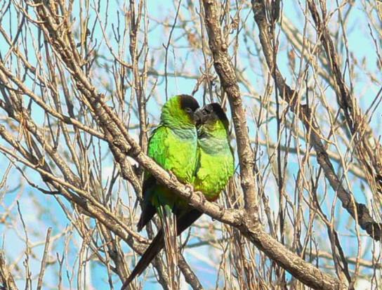 Ñanday/Nanday Parakeet