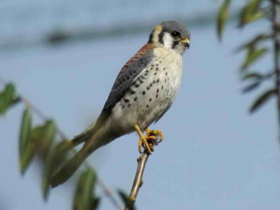 Halconcito colorado/American Kestrel