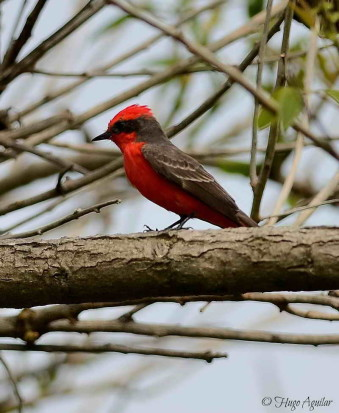 Churrinche/Vermilion Flycatcher