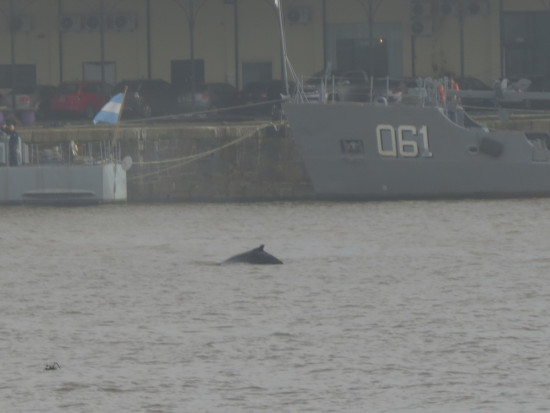 ballena jorobada/Humpback whale
