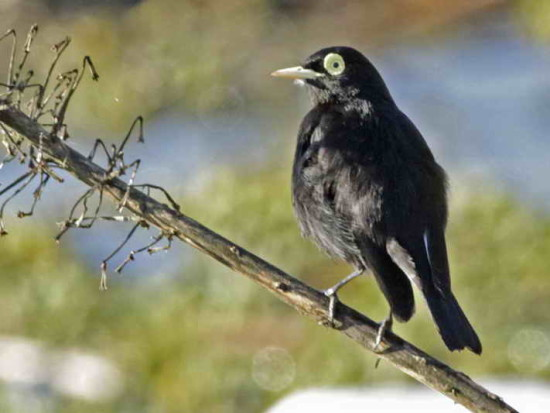 Pico de plata/Spectacled Tyrant