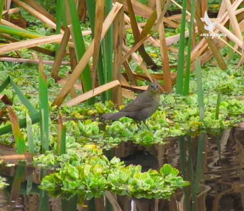 Varillero congoH/Chestnut-capped BlackbirdF