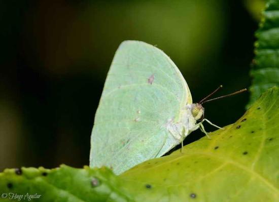 Azufrada coluda/Phoebis neocypris