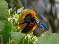 Abeja carpintera/Carpenter bee
