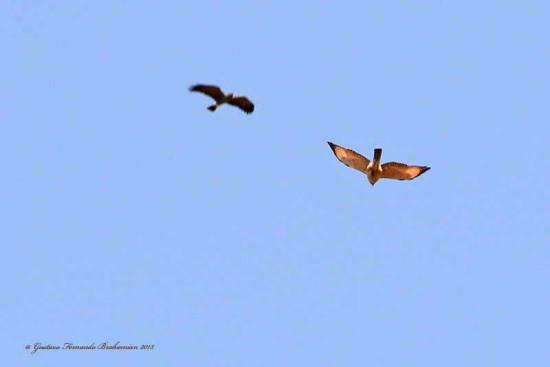 Caracolero-Taguató/Snail Kite/Roadside Hawk