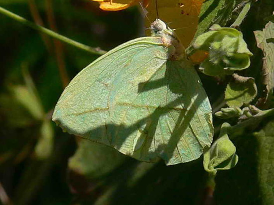 Falsa hoja/Straight-lined Sulphur