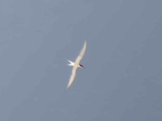 Gaviotín sudamericano/South American Tern