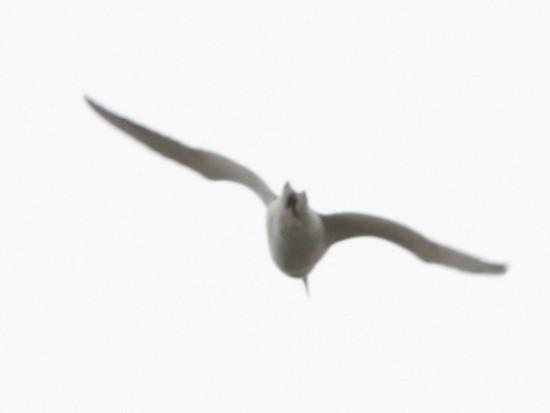 Gaviotín golondrina/Common Tern