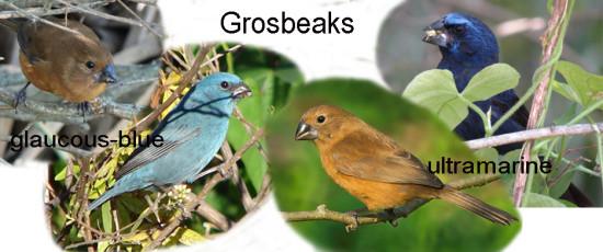 Grosbeaks