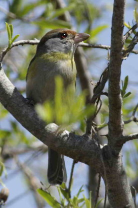 Juan chiviro/Rufous-browed Peppershrike
