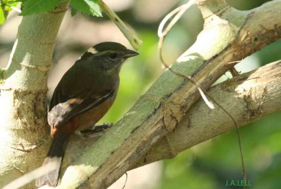Monterita litoraleña/Grey-breasted Warbling-Finch
