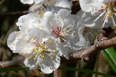 Prunus sp