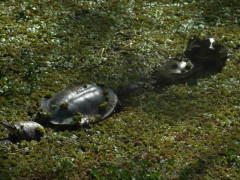 Tortugas/Turtles
