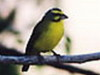 Canario de Mozambique/Yellow-fronted Canary