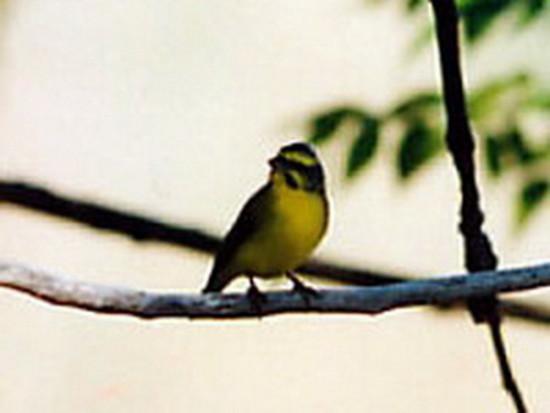 canario mozambique1 HR 12 2000