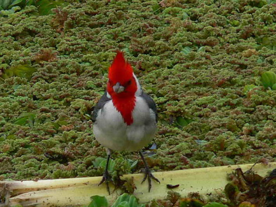 cardenal  SAC 1 1015