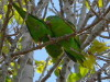 Catita chiriri/Yellow-chevroned Parakeet