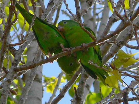 Catita chiriri/Yellow-chevroned Parakeet