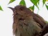 Cuclillo gris/Ash-coloured Cuckoo