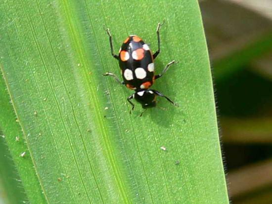 Vaquita/Ladybird beetle