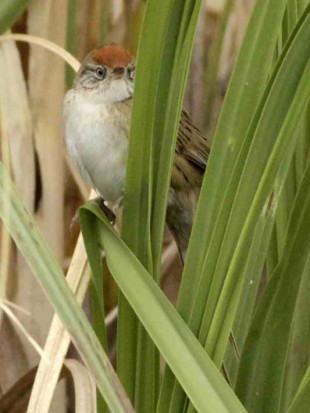 Espartillero enano/Bay-capped Wren-Spinetail