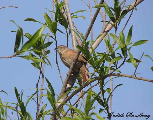 Espinero pecho manchado/Freckle-breasted Thornbird