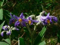 Fumo bravo/Solanum granulosum leprosum