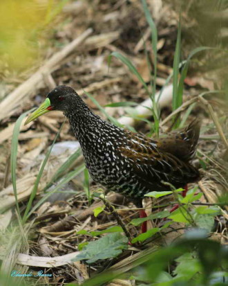 Gallineta overa/Spotted Rail