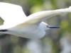 Garcita blanca/Egretta thula