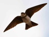 Golondrina zapadora/Bank Swallow