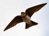 Golondrina zapadora/Bank Swallow