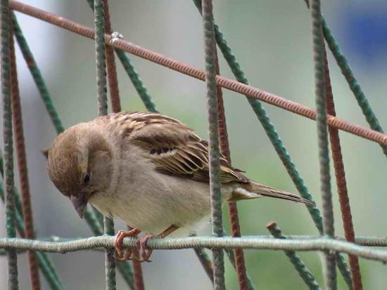 Gorrión/House Sparrow