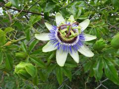 Mburucuyá/Passion flower