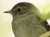 Mosqueta parda/Euler's Flycatcher