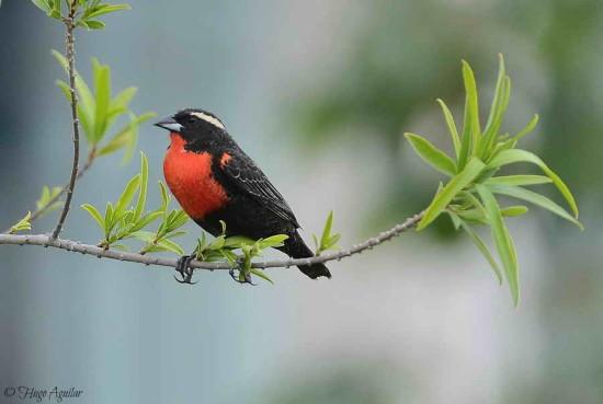 Pecho colroado/White-browed Blackbird