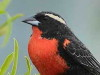 Pecho colroado/White-browed Blackbird