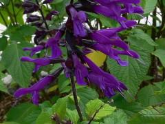 Salvia/Blue anise sage