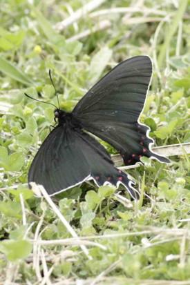 Viuda del monte/Banichus Cattleheart