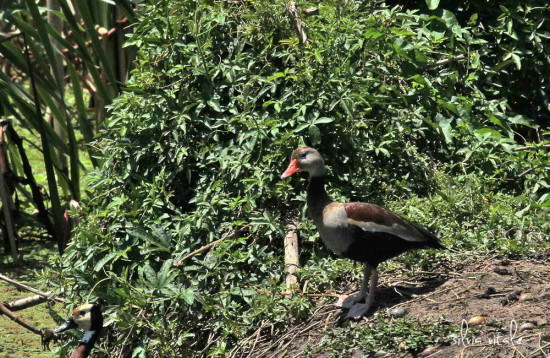 Sirirí vientre negro/Black-bellied Whistling-Duck