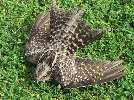 Atajacaminos tijeraH/Scissor-tailed Nightjar