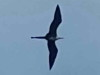Ave fragata/Magnificent Frigatebird