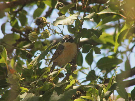 Cachilo canela/Long-tailed Reed Finch