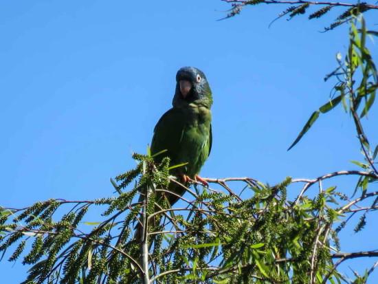 Calancate común/Blue-crowned Parakeet