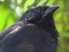 Chopí/Chopi Blackbird