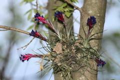 Clavel del aire/Tillandsia aeranthos