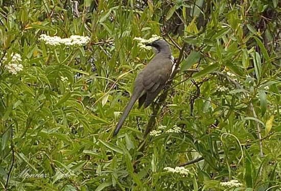 Cucliollo canela/dark-billed Cuckoo