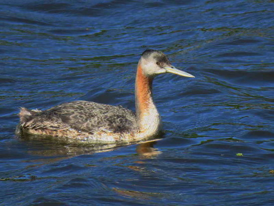Macá grande/Great Grebe